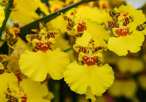 Close-up photograph of oncidium orchids