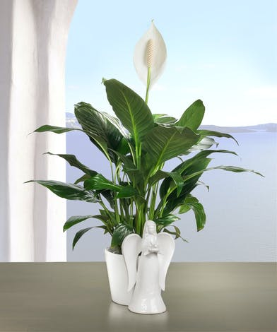 Peace Lily Plant in an angel planter