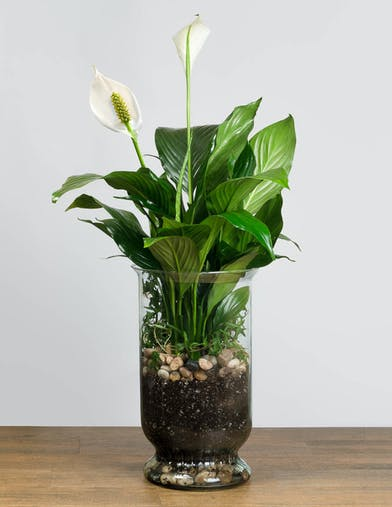 Peace Iily plant in a large glass vase
