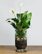 Serene Peace Lily