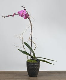 Phalaeonopsis Plant in a ceramic pot