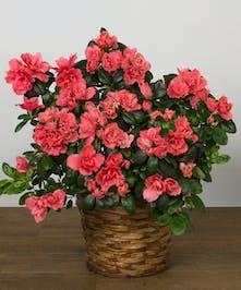 Azalea plant in a basket.