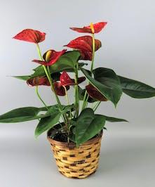 Anthrium Plant