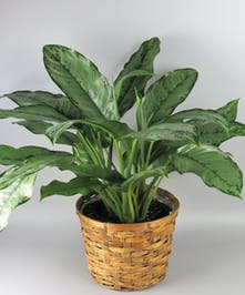 Chinese Evergreen in a basket