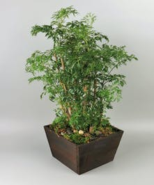 Ming Aralia Plant in a Basket
