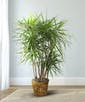 Dracena Plant (Up to 4ft tall)