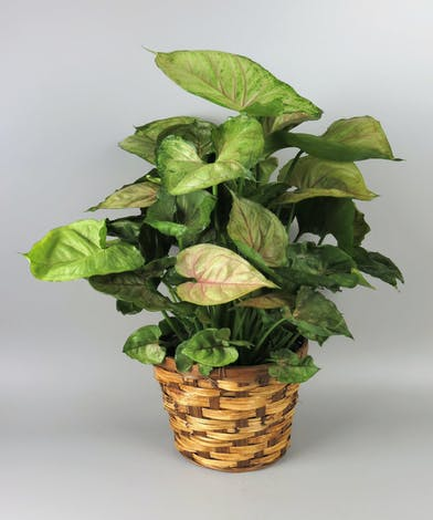 Nephthytis Plant in a Basket