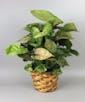 Nephthytis Arrowhead Plant