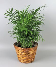 Neanthabella Palm Plant in a basket