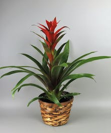 Bromeliad in a Basket