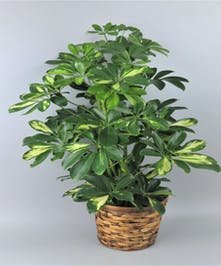 Schefflera in a basket