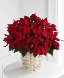 Large Poinsettia in a basket